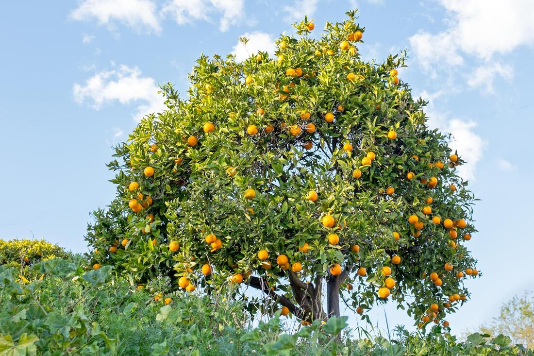 a landscape of orange tree